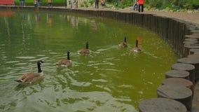 Kaczki w grodzkim stawie zdjęcie wideo