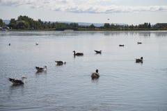 Kaczki w Islandzkim jeziorze obraz stock