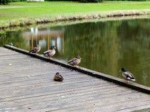 Kaczki w jeziorze Zdjęcie Royalty Free