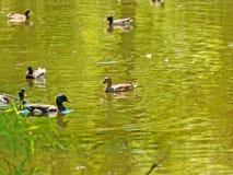 Kaczki w jeziorze Obrazy Stock