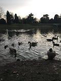 Kaczki w jeziorze Obraz Stock