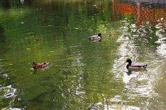 Kaczki w jeziorze Obraz Royalty Free