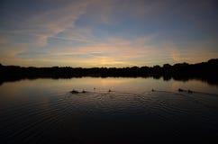 Kaczki w jeziorze przy zmierzchem Fotografia Royalty Free
