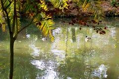 Kaczki w jeziorze uprawiają ogródek parkowego infanta Don Pedro, Aveiro Portugalia Zdjęcia Stock