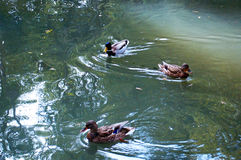 Kaczki w jeziorze uprawiają ogródek parkowego infanta Don Pedro, Aveiro Portugalia Obraz Royalty Free