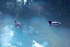 Kaczki w jeziorze uprawiają ogródek parkowego infanta Don Pedro, Aveiro Portugalia Fotografia Stock