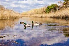 Kaczki w lagunie Zdjęcia Royalty Free