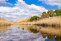 Kaczki w lagunie Obrazy Royalty Free