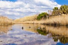 Kaczki w lagunie Obrazy Stock