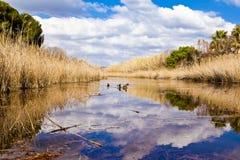 Kaczki w lagunie Obraz Royalty Free