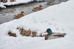 Kaczki w śniegu Zdjęcia Royalty Free
