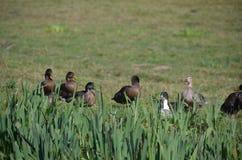 Kaczki w Normandy Fotografia Stock