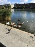 Kaczki w parku Zdjęcia Royalty Free