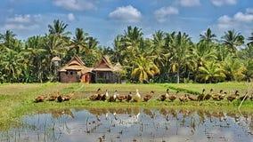 Kaczki w ryżowych irlandczykach, Ubud, Bali Zdjęcie Royalty Free