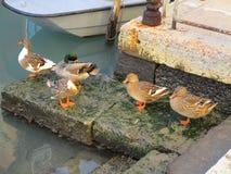 Kaczki w Wenecja Zdjęcia Stock