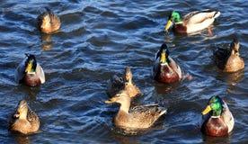 kaczki w wodzie Zdjęcie Stock