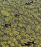 4 kaczki w wodzie Obraz Royalty Free