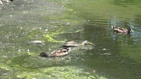 Kaczki w zanieczyszczającym miastowym stawie zbiory