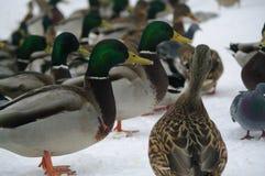 Kaczki w zimie Zdjęcie Royalty Free