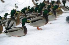 Kaczki w zimie Obraz Royalty Free