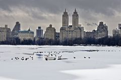 Kaczki w zimie Fotografia Royalty Free
