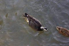 kaczki walczy dla jedzenia w pogodnej rzece na Grudnia nastania dniu obraz royalty free