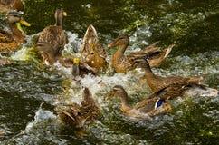 kaczki walka Zdjęcie Stock