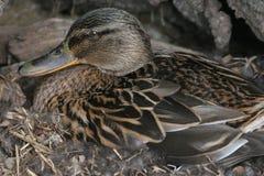 kaczki wiciem gniazda Fotografia Royalty Free