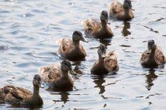 kaczki woda Obrazy Stock