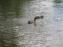 Kaczki wodny naturaleza fotografia stock