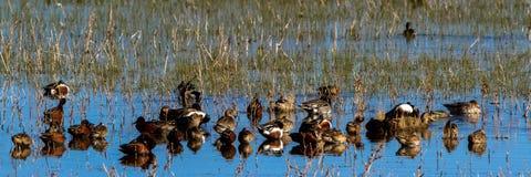 Kaczki wszystkie rodzaje przy odpoczynkiem w bagnie przy Bosque Del Apache Obywatel rezerwatem dzikiej przyrody w Nowym - Mexico obraz stock