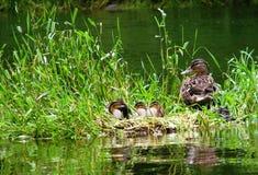 kaczki wyspa Obraz Royalty Free