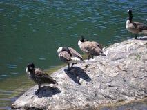 Kaczki wyspa Zdjęcie Royalty Free
