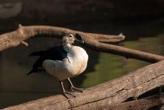 kaczki wystawiająca rachunek gałeczka Fotografia Stock