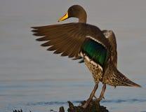 kaczki wystawiający rachunek kolor żółty Zdjęcia Stock