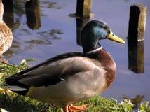 kaczki zbliżania mallard Zdjęcia Royalty Free