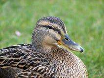 kaczki zbliżania mallard Zdjęcie Royalty Free