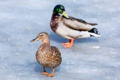 Kaczor i odpoczywa na lodzie miasto wiosny jezioro w słonecznym dniu lub staw zdjęcie stock