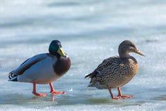 Kaczor i odpoczywa na lodzie miasto wiosny jezioro w słonecznym dniu lub staw obrazy stock