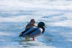 Kaczor i odpoczywa na lodzie miasto wiosny jezioro w słonecznym dniu lub staw fotografia stock