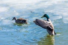 Kaczor i odpoczywa na lodzie miasto wiosny jezioro w słonecznym dniu lub staw obraz royalty free