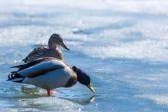 Kaczor i odpoczywa na lodzie miasto wiosny jezioro w słonecznym dniu lub staw obrazy royalty free