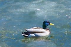 Kaczor odpoczywa na lodzie miasto wiosny jezioro w słonecznym dniu lub staw obrazy royalty free