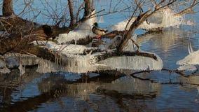 Kaczor przy Dnipro rzeką obrazy stock