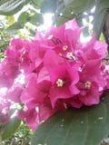 Kadalas kwiat Obraz Royalty Free