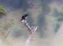 Kadavergalande, sjunga för corvuscorone arkivfoton