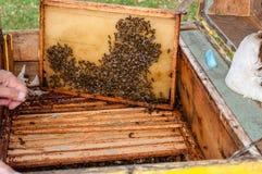 Kader met honingraat met bijen in de geopende bijenkorf Stock Foto