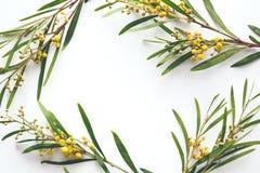 Kader met Mimosabloemen Stock Fotografie