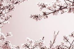 Kader van de mooie kersenbloesem in volledige bloei de ruimte is mooie hemel uitgedrukt met witte en bruine kleur stock foto