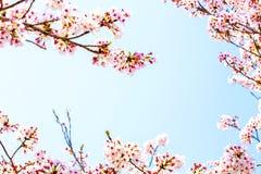 Kader van de mooie roze kersenbloesem in volledige bloei de ruimte is mooie blauwe hemel stock foto's
